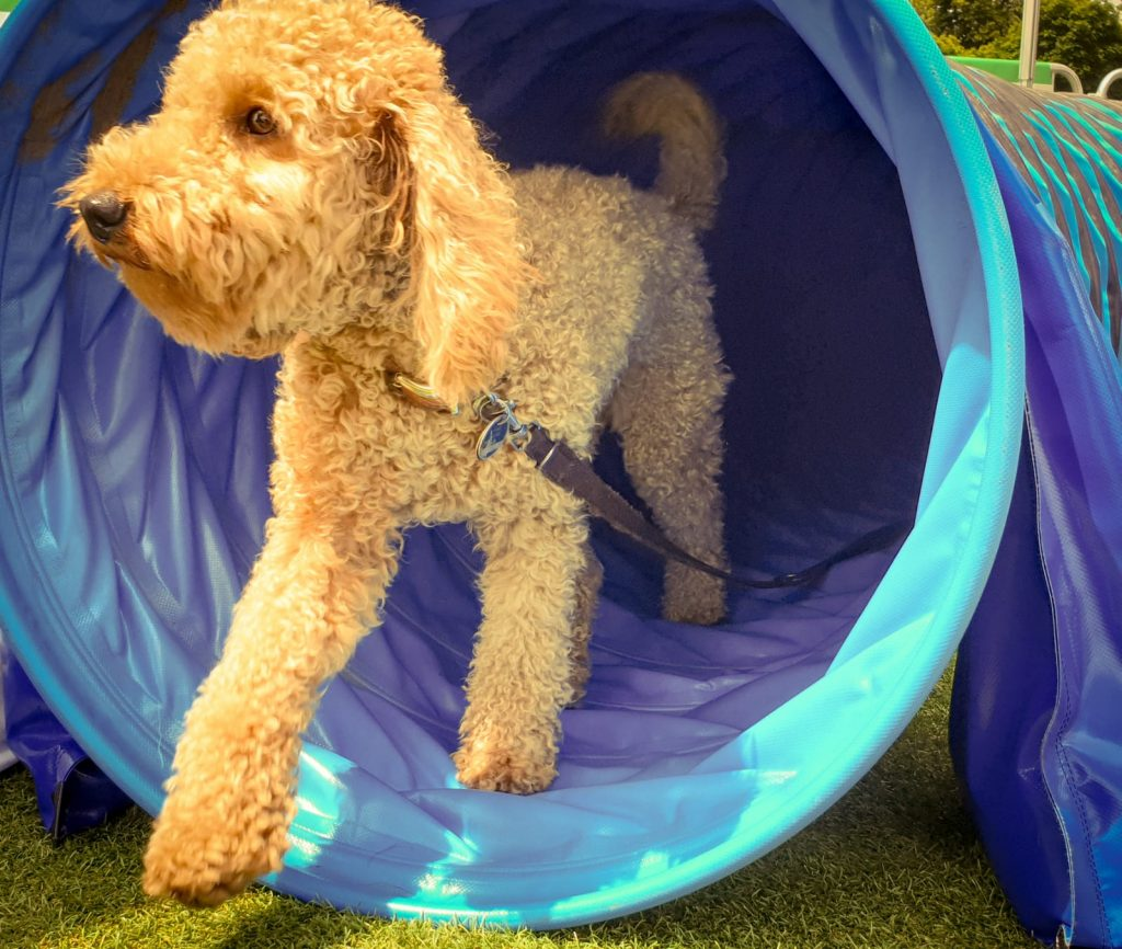 Hunde beim Physiotherapeuten - Bewegungstraining im Tunnel