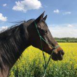 Pferde Physiotherapie, Osteopathie