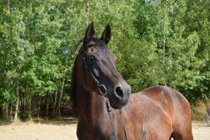 das Foto zeigt einen Araberwallach nach der Lymphdrainage. Die manuelle Lymphdrainage kann auch bei kann auch bei nervösen und leicht erregbaren Pferden wie dem Arabischen Vollblut beruhigend wirken.