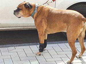 graue Schnauzen -Ein Boxer mit Carpalgelenksbandagen