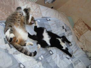 zwei Katzen räkeln sich genüsslich auf dem Bett