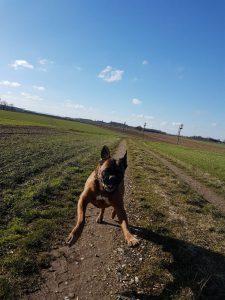 ein Boxer-Rüde tobt über das Feld - trotz Arthrose(Knie und Ellbogen) voller Lebensfreude